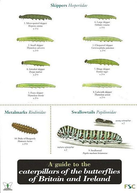 Guide to the Caterpillars of the Butterflies of Britain and Ireland.