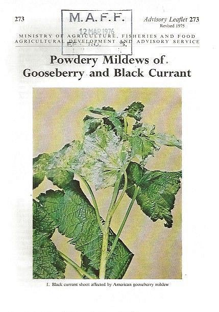 Powdery Mildews of Gooseberry and Black Currant.
