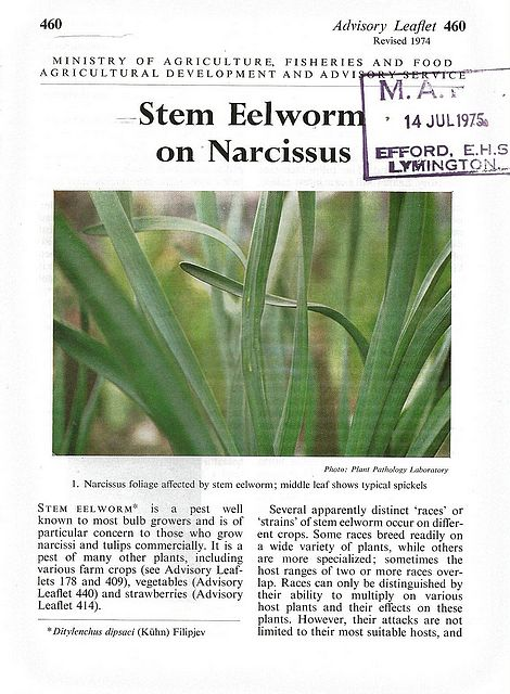 Stem Eelworm on Narcissus.