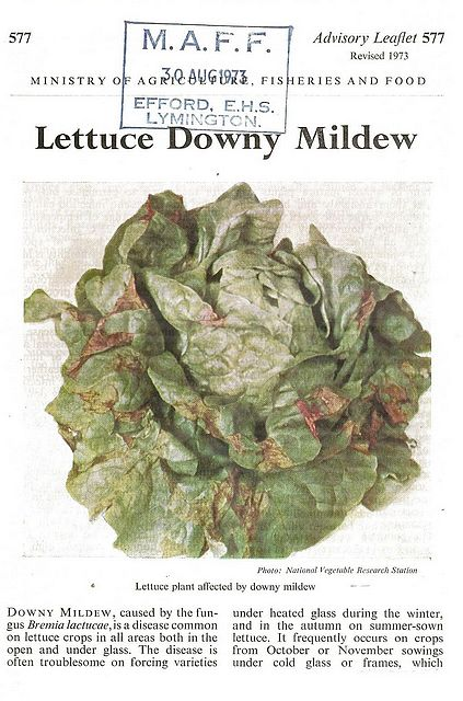 Lettuce Downy Mildew.